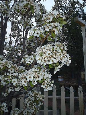 4 X Tree Unrooted Cuttings Organic Pear Tree 17Year Old Usa Tree  Green Pear