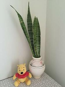Snake Plant Mother_in_law Tongue enhances Room Oxygen Runcorn Brisbane South West Preview