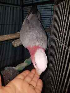 Lost pink/grey galah Tuggerawong Wyong Area Preview