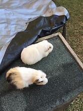 Lovely gentle female Guinea pigs West Ryde Ryde Area Preview