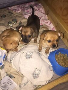 PURE-BRED CHIHUAHUA PUPPIES
