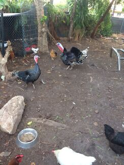 Pair turkey 12months old Nakara Darwin City Preview