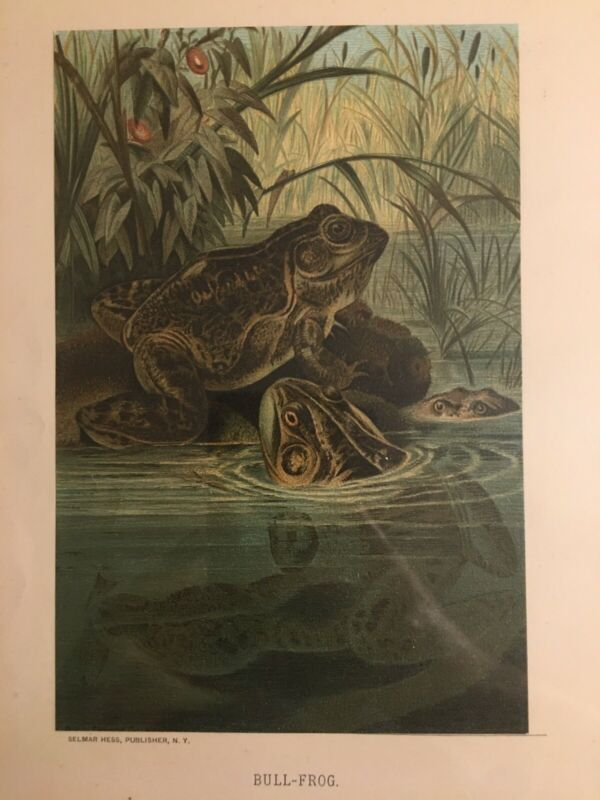 """Authentic 1800's Color Engraving """"Bull-Frog"""" Selma Hess & Prang! Great Condition"""