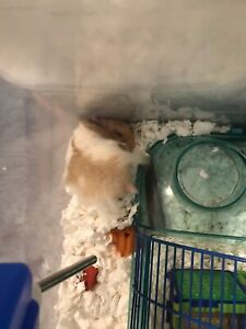Syrian Hamster for Sale (Including Everything)