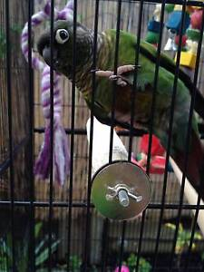 2 Gorgeous Green Cheek Conures Logan Central Logan Area Preview
