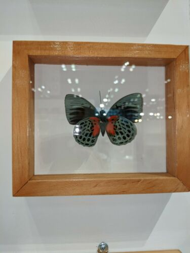 Framed Agrias Beata Butterfly