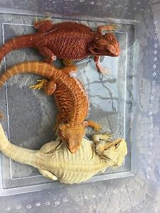 ***HIGH END BEARDED DRAGONS***