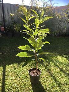 Loquat tree Rosemeadow Campbelltown Area Preview