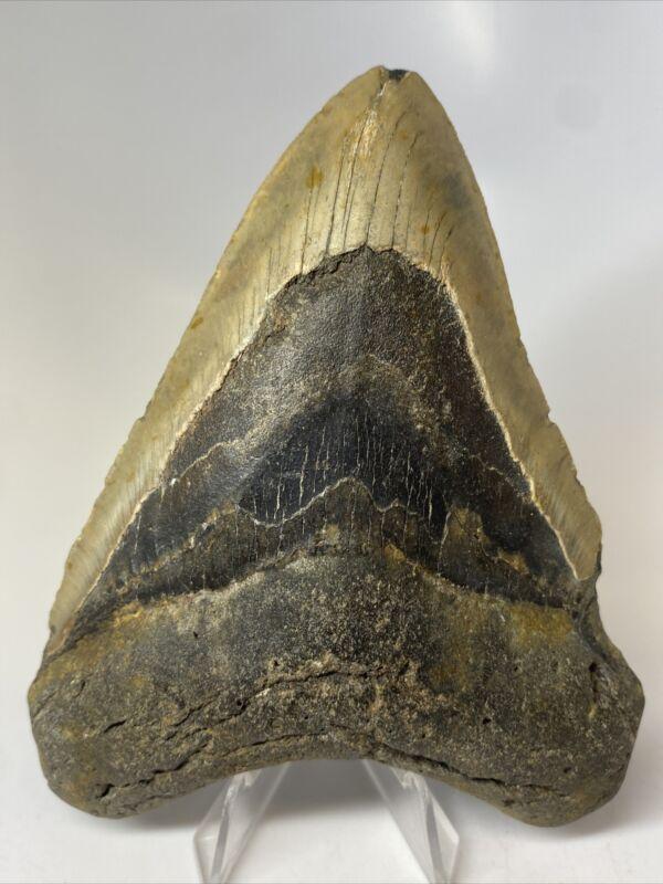 "Megalodon Shark Tooth 5.06"" Natural - Big Fossil - Rare 9971"