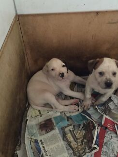4 female American bulldog x rotti pups left Armadale Armadale Area Preview