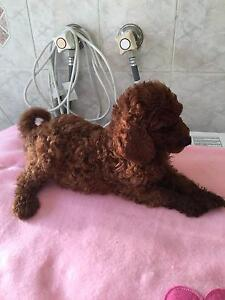 Red Standard Poodle Puppies Caboolture Caboolture Area Preview