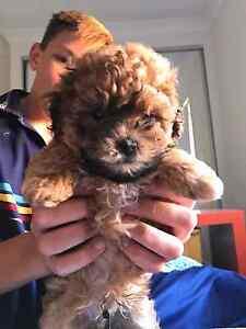 Maltese/Shitzu/Poodle Male For Sale Ripley Ipswich City Preview