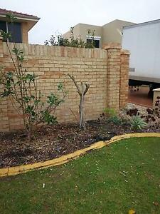 FREE OLIVE TREES (THREE) FOR POT PLANTERS Mullaloo Joondalup Area Preview