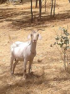 Nubian Goat. Toodyay Toodyay Area Preview