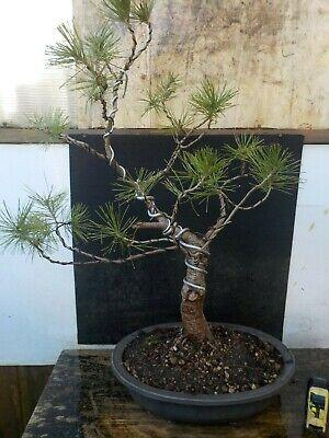 bonsai di pino marittimo h 64 cm visita il negozio