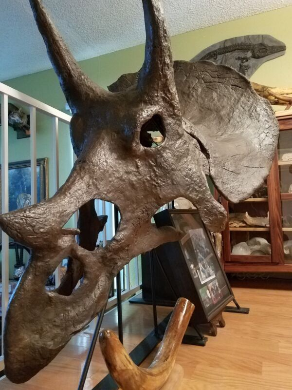 Genuine TRICERATOPS prorsus DINOSAUR SKULL FOSSIL comes w/ Letter of Authenticit