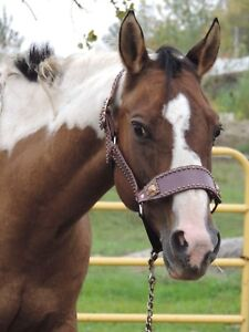 APHA mare in foal