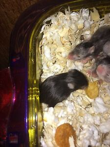 Baby hamsters London Ontario image 6