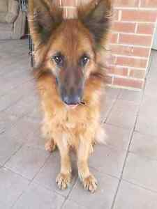 Pedigree German Shepherd Seaford Morphett Vale Area Preview