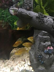 Electric yellow cichlids/jack Dempsey's