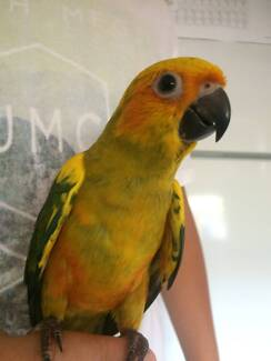 Genuine Handraised Tame Parrots from $60