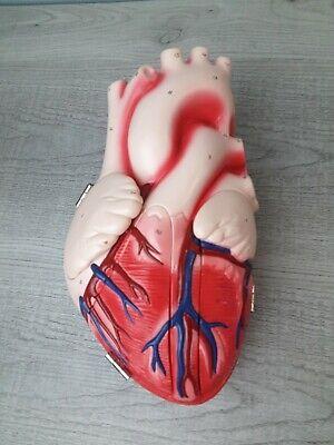 Denoyer Geppert Heart Of America Anatomical Medical Model