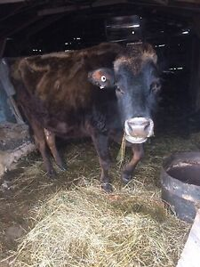 Jersey Cow for Sale!