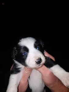 Pure border collie pups Jerilderie Jerilderie Area Preview