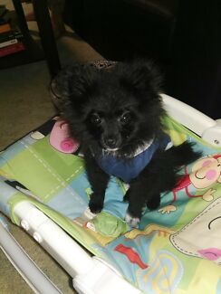 Gorgeous 3 month old male pomeranian only for loving family