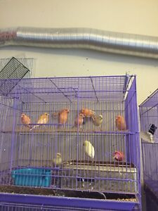 Bunch of canaries for sale