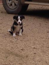 Border Collie Puppies Strathmerton Moira Area Preview
