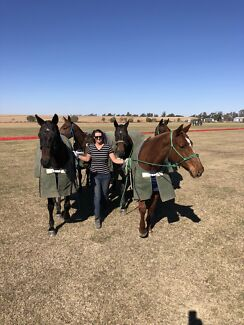 Polo groom position to on our farm working older and younger horses. North Star Gwydir Area Preview