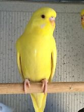Baby Budgies Springwood Logan Area Preview