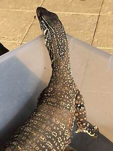 Gould's Monitor Lizard Iluka Joondalup Area Preview