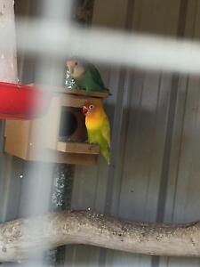 Love birds Cranebrook Penrith Area Preview