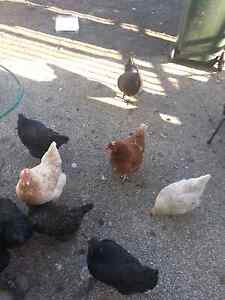 Chickens   for sale Lalor Whittlesea Area Preview