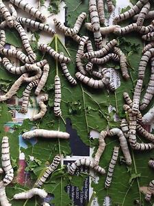 Silkworms for sale Rosebery Inner Sydney Preview