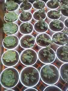 Succulent plants Bidwill Blacktown Area Preview