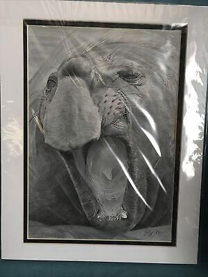 Pencil Drawing Elephant Seal By Gary Tymon