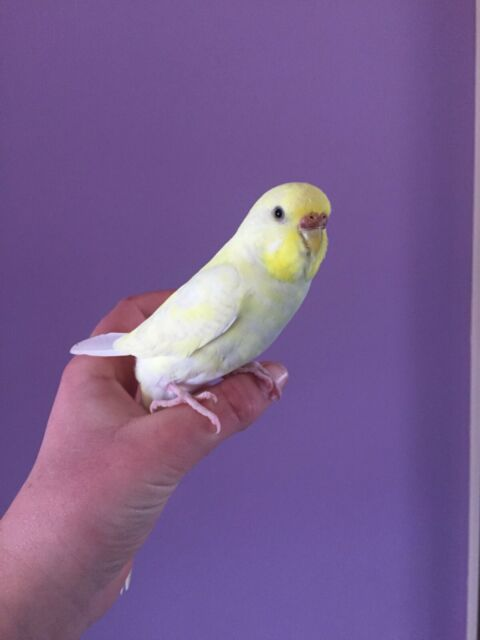 Tame baby budgies 4 sale | Birds | Gumtree Australia Alexandrina