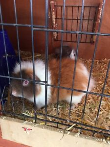 Male Rex guinea pig Zillmere Brisbane North East Preview