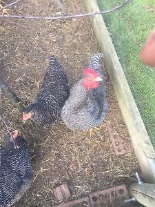 Plymouth Rock  roosters Mount Compass Alexandrina Area Preview
