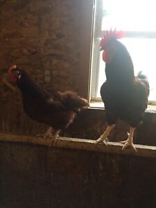 Rhode Island Red roosters