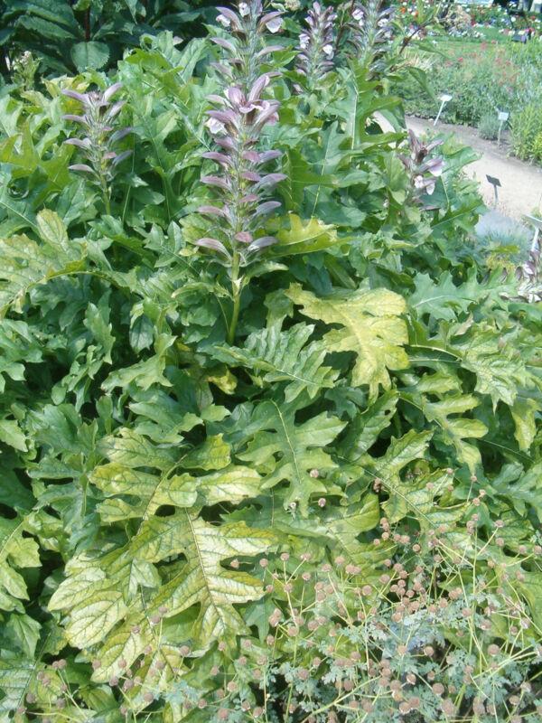 Dornige Bärentatze Acanthus spinosus Staude im 9x9cm Topf gewachsen