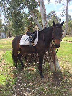 Australian Stock Horse Gelding