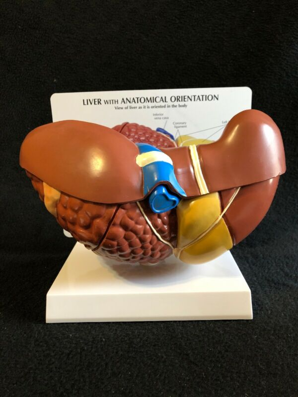 GPI #3310 Human Liver/Gallbladder with Pathologies Anatomical Teaching Model