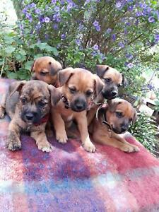CAIRN TERRIER/MINI FOX TERRIER PUPPIES