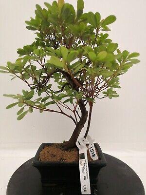Bonsai di azalea h. 37 cm Visita il mio negozio!