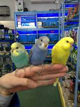 BABY BUDGIES-HAND TAME Bentleigh Glen Eira Area Preview