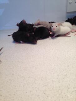 Baby rats for sale Sydney Northern beaches Elanora Heights Pittwater Area Preview